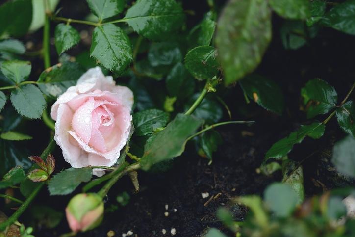 Possiamo lamentarci perché i cespugli di rose hanno le spine, o gioire perché i cespugli spinosi hanno le rose