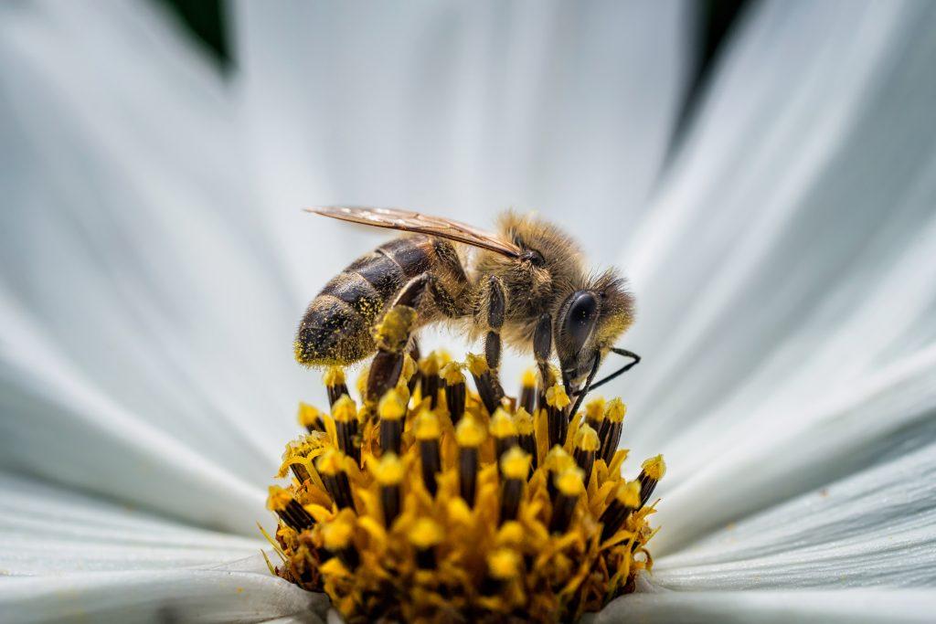 World Bee Day: un esile corpo da 100 milligrammi garantisce la nostra sopravvivenza